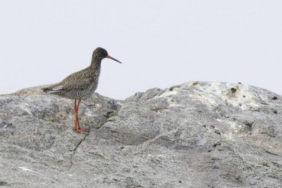 Chevalier gambette - Tringa totanus - Common Redshank.jpg